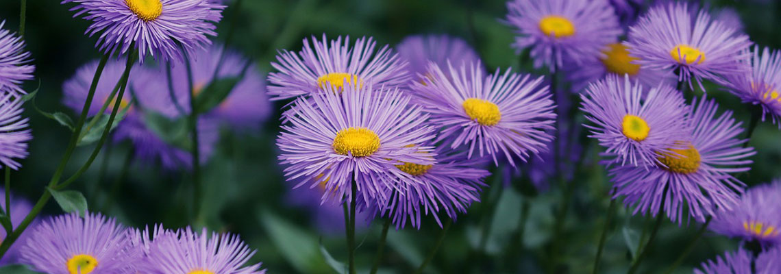 Fall Aster Blooms