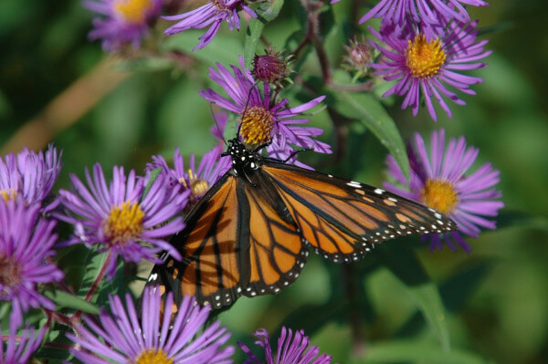 Monarch Butterfly On Fall Aster Flower